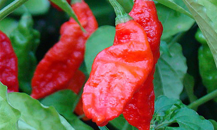 Bhut-Jolokia-Red-900x562