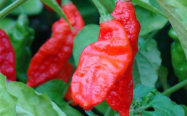 Bhut-Jolokia-Red-900x562